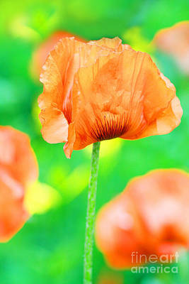 Poppy Flowers In May Print by Anita Antonia Nowack