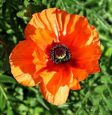 Poppy Blossom Original by John  Nolan