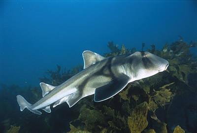 Jervis Photograph - Port Jackson Shark by Mike Parry