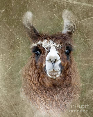 Llama Digital Art - Portrait Of A Llama by Betty LaRue
