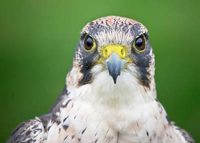 Portrait Of Peregrine Falcon Print by Michal Baran