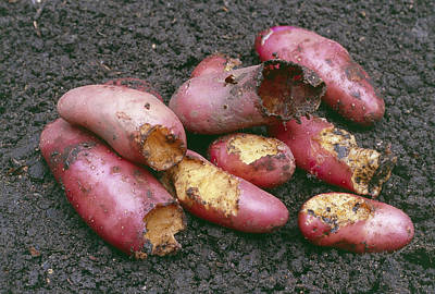 Gnaw Photograph - Potatoes Eaten By Pests by Maxine Adcock