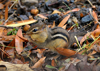 Chipmunk Photograph - Pouch Stuffing Chipmunk - C2981d by Paul Lyndon Phillips