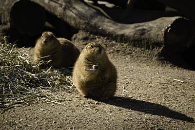 Prairie Dog Sees The Shadow Print by Trish Tritz
