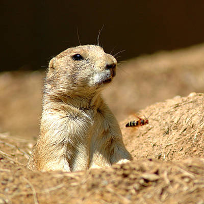 Surrealism Photograph - Prarie Dog Bee Alert by LeeAnn McLaneGoetz McLaneGoetzStudioLLCcom