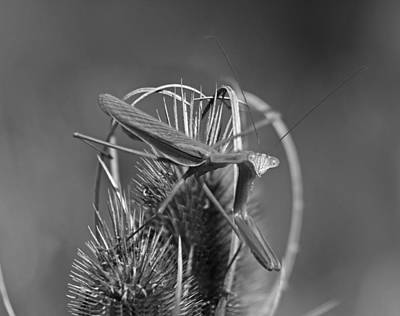 Mantis Photograph - Praying Mantis by Betsy Knapp