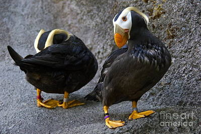 Tacoma Photograph - Preening Puffins by Sean Griffin
