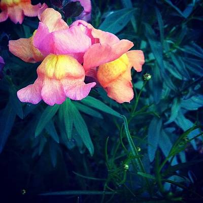 Dragon Photograph - Pretty Snap Dragons  by Abigayle Costis