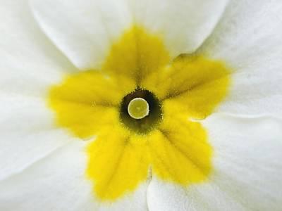 Primula Vulgaris Photograph - Primrose Flower (primula Vulgaris) by Adrian Bicker
