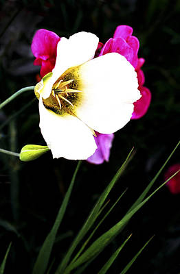 Floral Photograph - Primrose by Marilyn Hunt