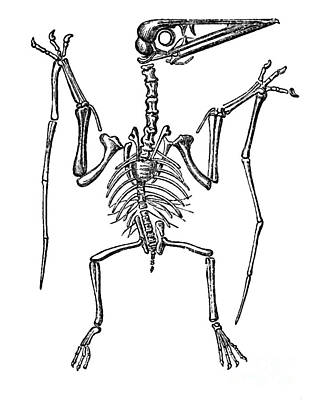 Pterodactylus, Extinct Flying Reptile Print by Science Source