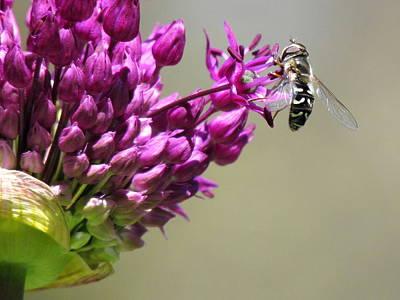 British Columbia Photograph - Purple Allium Flower With Hoverfly by Eva Kondzialkiewicz