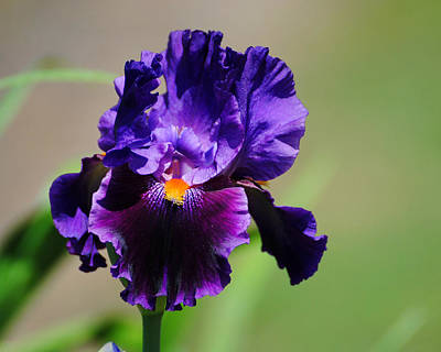 Flower Photograph - Purple And Orange Iris 2 by Jai Johnson