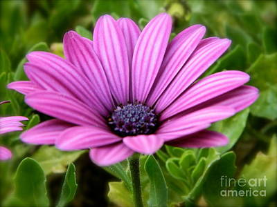 Purple Flower Print by Sara  Mayer