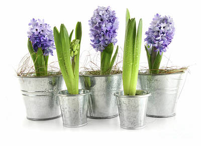 Violet Photograph - Purple Hyacinths by Sandra Cunningham