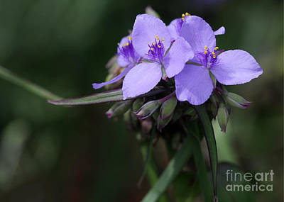 Purple Spiderwort Flowers Print by Sabrina L Ryan