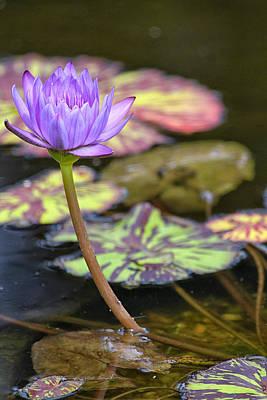 Purple Water Lilly Print by Lauri Novak