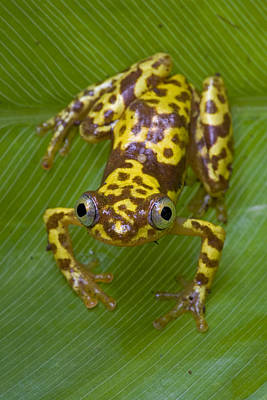 Piotr Naskrecki Photograph - Pygmy Leaffolding Frog Ghana by Piotr Naskrecki