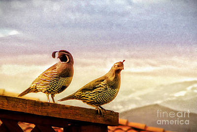 Topknot Photograph - Quail And His Lady by Phyllis Kaltenbach