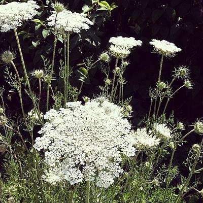 Floral Photograph - Queen Anne's Lace by Michelle Calkins
