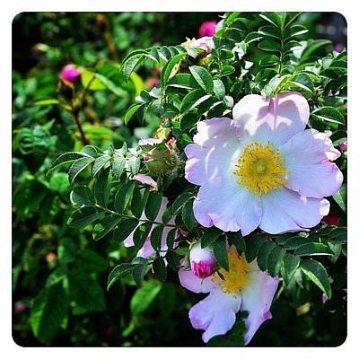 Roses Photograph - R. Roxburghii Hirtula Rose by Natasha Marco