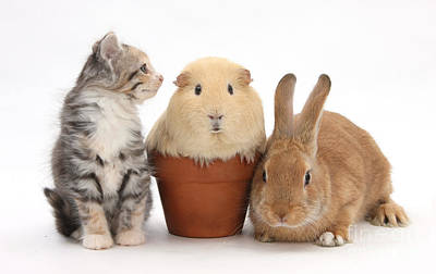 Rabbit, Kitten And Guinea Pig Print by Mark Taylor