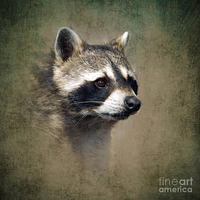 Raccoon Photograph - Raccoon 1 by Betty LaRue