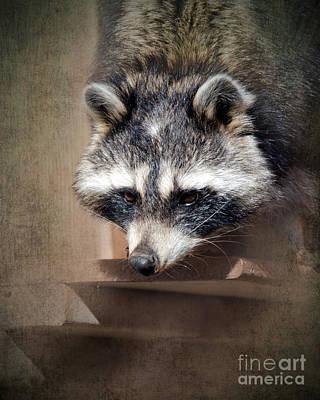 Raccoon Photograph - Raccoon 3 by Betty LaRue