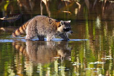 Raccoon Foraging  Print by Bruce J Robinson