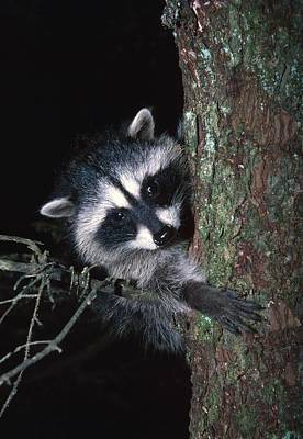 Raccoon Photograph - Raccoon In Tree by Natural Selection David Ponton
