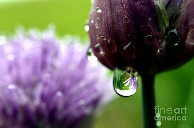 Raindrops On Chives In Bloom Print by Thomas R Fletcher