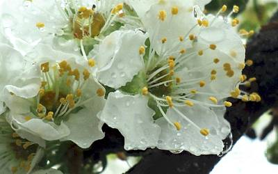 Rainy Day Photograph - Rainy Day Plum Blossoms by Padre Art