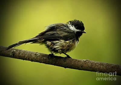 Rainy Days - Chickadee Print by Inspired Nature Photography Fine Art Photography