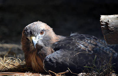 Red Tail Hawk Photograph - Raptor At Rest by Fraida Gutovich