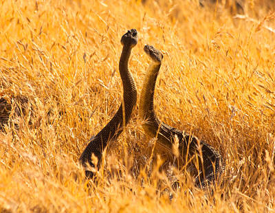 California Wildlife Photograph - Rattlesnake Face Off by Marc Crumpler