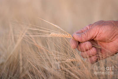 Artist Working Photograph - Ready To Harvest by Cindy Singleton