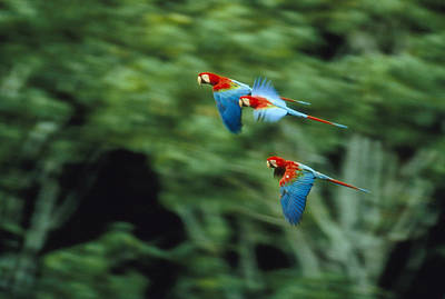 Red-and-green Macaws In Flight Print by Joel Sartore