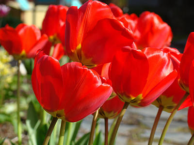 Red Art Spring Tulip Flowers Floral Print by Baslee Troutman
