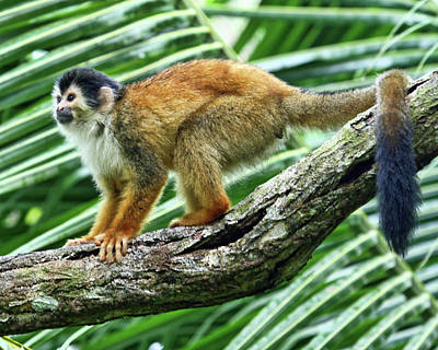 Red-backed Squirrel Monkey Print by Larry Linton