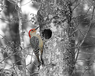 Woodpecker Digital Art - Red-bellied Woodpecker - Selective Color by Al Powell Photography USA