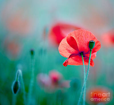 Colored Background Photograph - Red Corn Poppy Flowers 04 by Nailia Schwarz