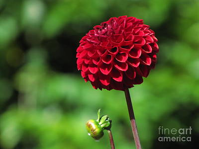 Nature Photograph - Red Dahlia And Bud by Sean Griffin