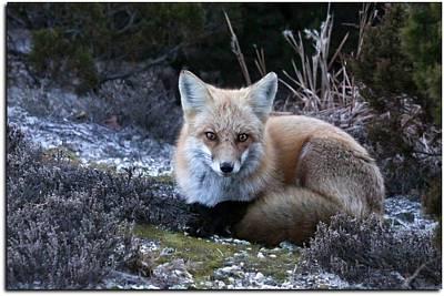 Red Fox Print by Angele Marzi