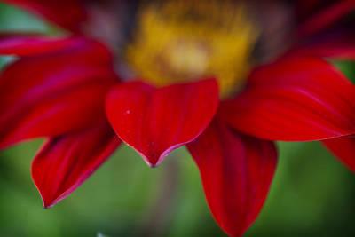 Gerber Daisy Photograph - Red Gerber 3 by Jessica Velasco