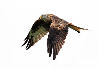 Red Kite In Flight Print by Grant Glendinning Photography
