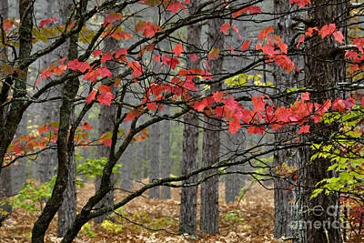 Red Maple - D004247 Print by Daniel Dempster