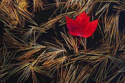 Red Maple Leaf On Pine Needles In Pool Print by Mike Grandmailson