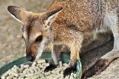 Red-necked Wallaby Print by Kaye Menner