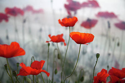 Red Poppies(papaver Rhoeas)  And Polytunnel Print by Pascal Preti