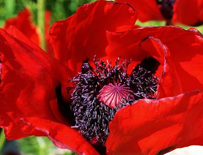 Amature Photograph - Red Poppy Close Up by Bruce Bley
